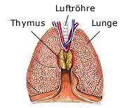 Thymus | Menschlicher körper anatomie, Anatomie und Anatomie des ...