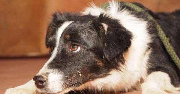 Adopt Adele A Lovely 1 Year Dog Available For Adoption At Petango Com Adele Is A Australian Shepherd And Is Avail Australian Shepherd Colorado Springs Adele