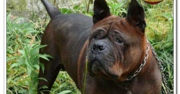 Chinese Chongqing Dog Hunderassen Tierbilder Seltene Hunderassen