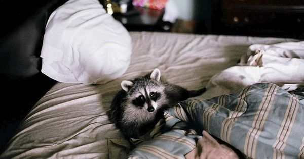 i would love to have a pet raccoon!!