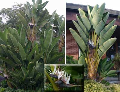 Bird Of Paradise Strelitzia Reginae In 2020 Birds Of Paradise Plant Birds Of Paradise Plants
