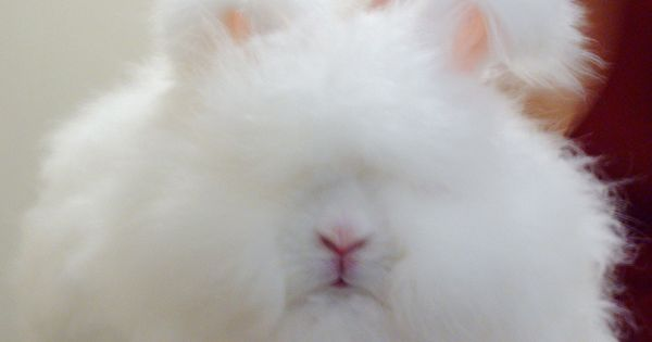 ENGLISH ANGORA RABBIT - This is the smallest of the Angora rabbits