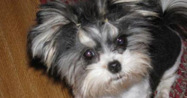 Mi Ki Puppy So Cute Shitzu Dogs Miki Dog Puppies