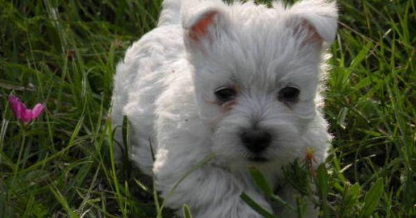 Cute Westie Puppy 12 Weeks Westie Puppies Puppies Westies