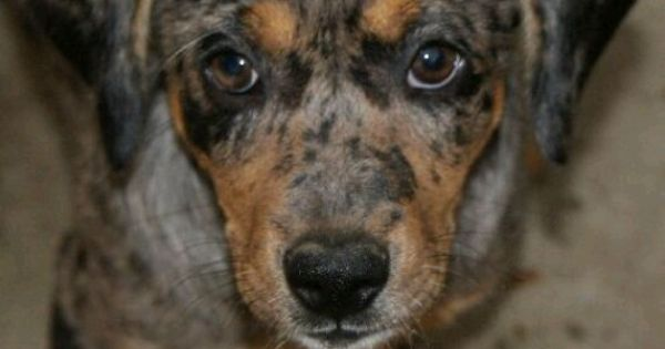 Blue Doxy- dachshund blue heeler mix. So cute! | Dogs ️ ...