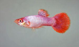 Pink Tail Guppy Guppy Betta Aquarium Best Aquarium Fish