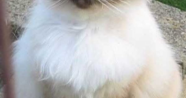 Long Hair Cat Breeds | 10 Friendliest and Stunningly Attractive Cats on