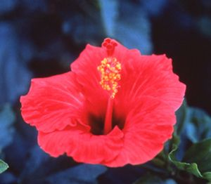 Hibiscus Flower Essence Energizes The First And Second Chakras Undoing Blockages In The Lower Back And Spine A With Images Flower Essences Flower Remedy Hibiscus Flowers
