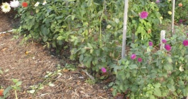 Dahlia Support Ideas What Are The Best Ways To Stake