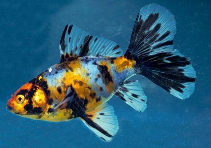 Shabunkins Shubunkin Goldfish Common Goldfish Goldfish