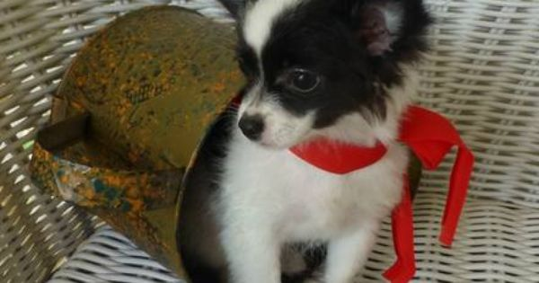 Beautiful Black White Long Hair Chihuahua Male Puppy See Puzzels Mothers Day Price Red Long Haired Chihuahua Puppies Chihuahua Puppies For Sale Chihuahua Love