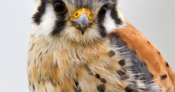 Kestral falcon. These are such beautiful birds.