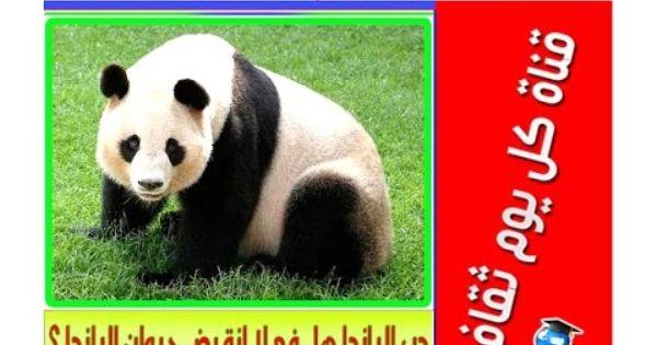دب الباندا هل فعلا انقرض حيوان الباندا ثقف نفسك Panda Bear Panda Bear