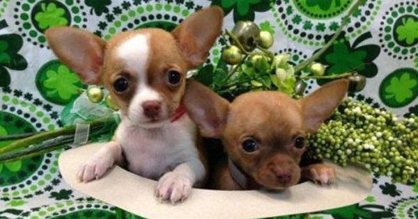 These Cuties Chihuahua Love Cute Puppies Cute Chihuahua