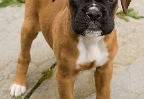 Baby boxer my dream doggy