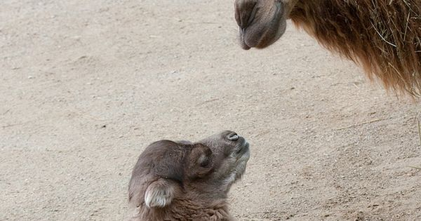 An Animal Mother's Love - Baby Bactrian Camel with Mum