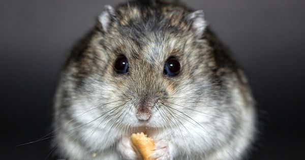 Free Image On Pixabay Hamster Rodent Dwarf Hamster Hamster Breeds Dwarf Hamster Hamster Food