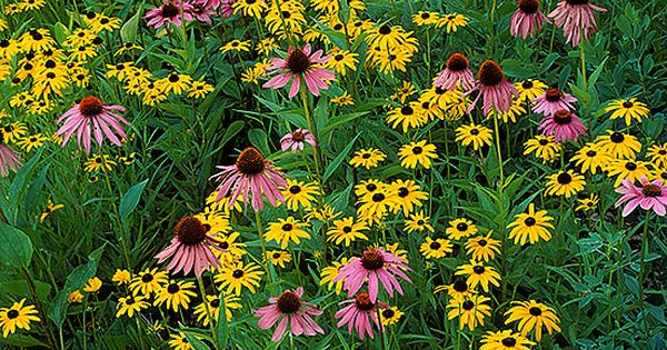Purple Coneflowers Amp Black Eyed Susans Holden Arboretum
