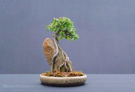 Development Of Root Over Rock Bonsai Bonsai Tree Types Mame Bonsai Bonsai Tree Care