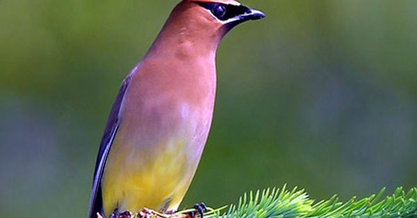 Cedar Waxwing (Bombycilla cedrorum) Wow, there are some beautiful birds, look at