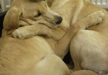 so sweet! 2 yellow labs taking care of each other during a