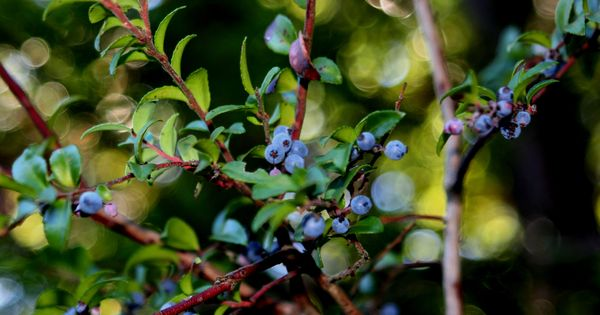 Huckleberry Bush I Enjoy Picking Berries And Eating