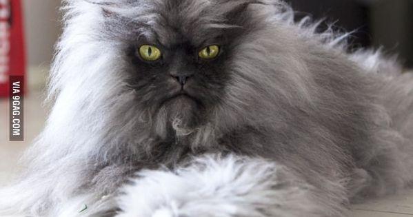 Guinness World Record Holder For Longest Fur On A Cat Cats Werewolf Cat Grumpy Cat