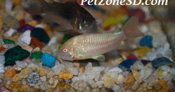 Albino Corydora 4 99 Http Www Petzonesd Com Albino Corydora Aquarium Catfish Albino Fish Pet