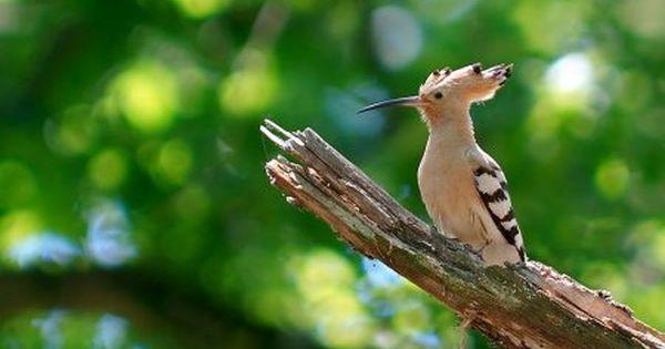 صور هدهد خلفيات ورمزيات الهدهد بجودة Hd ميكساتك Weird Birds Animals Beautiful Bird