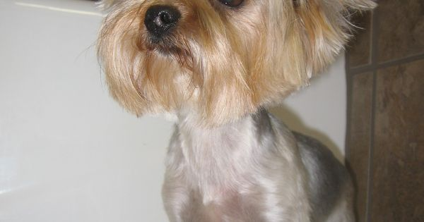 New  As Well Small Dog Haircut Styles On Different Haircuts For Small Dogs