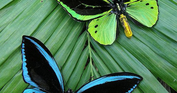 Common green birdwing (Ornithoptera priamus (New Guinea subspecies)).