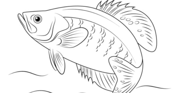 White Crappie Coloring Page Free Printable Coloring Pages Fish Coloring Page Animal Coloring Pages Fish Drawings
