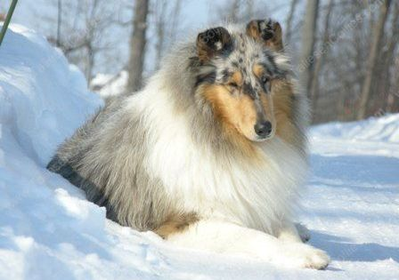 Taliesen Collies Of Michigan With Images Rough Collie Collie