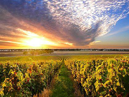 Vineyard in the Bordeaux wine region, Chateau Segonzac, France