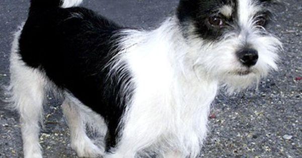 Jack Tzu Jack Russell Terrier Shih Tzu Hybrid Dogs Shih Tzu