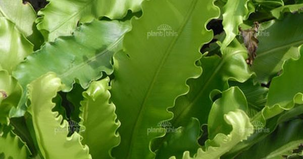 Ruffled bird's nest fern | House plants | Pinterest ... Ruffled Birds Nest Fern