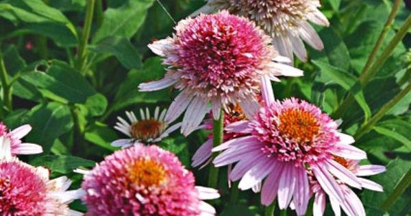 Echinacea Butterfly Kisses Is Just Over A Foot Tall And Covered In Blossoms Great For Containers And Small Spa White Flower Farm Echinacea Purpurea Echinacea