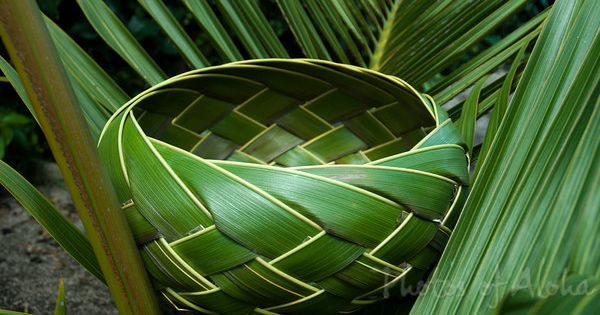 Basket Weaving With Leaves : Coconut palm leaves mona silva