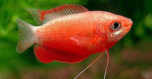 Tropical Fish Forums Aquarium Fish Tropical Fish Tropical Freshwater Fish