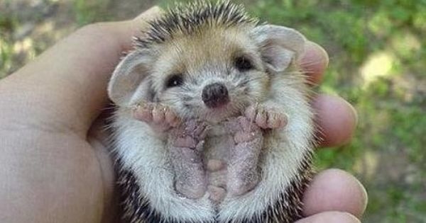 So cute! I've always wanted a baby hedgehog