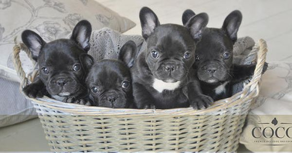 Coco French Bulldog Breeders Puppies And Kitties Cute Little Animals Puppy Breath
