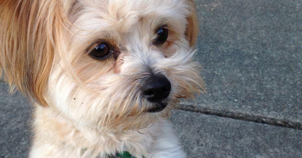My kiwi. She's a pomeranian poodle mix. | Doggies ...