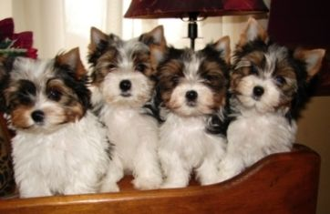 Biewer Puppies For Sale Biewer Yorkshire Terriers Biewer Yorkshire Terrier Breeder Biewer Yorkie Yorkshire Puppies Yorkie Breeders