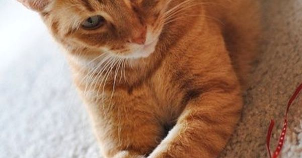 Our little kitten albie grows up orange tabby cats tabby cats and cat