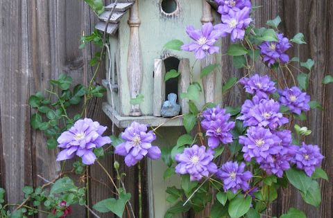 Clematis....to grow up a bird house. Beautiful. Repinned by Pinterest Pin Queen.