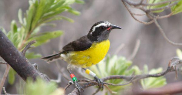Le sucrier des antilles petit oiseau ventre jaune for Oiseau ventre jaune