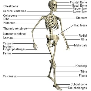 A Simple Nice Clear Diagram Showing You The Skeleton Nice Halloween Activity Learn The Major Bone Human Skeletal System Skeletal System Human Body Systems