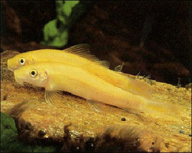 Golden Chinese Algae Eater Grows 11 Inches Fresh Water Fish Tank Freshwater Aquarium Fish Aquarium Fish