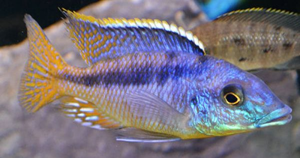 Gumtree Australia Aquarienfische Aquarium Fische Susswasserfische