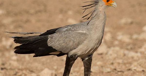 Secretary Bird, Features In The SA Coat Of Arms